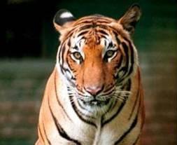 20130308050520-z-tigre1a.jpg
